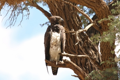 Martial Eagle/Aigle martial+ Sociable Weaver/Républicain social