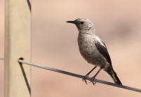 Mountain Wheatear/Traquet Montagnard
