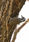 Bearded Woodpecker/Pic barbu