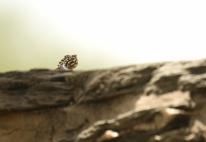 Namibian Rock Agama fem./Agama planiceps