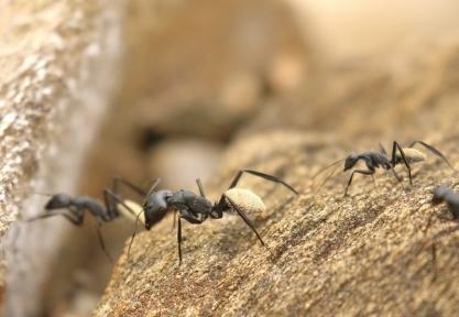 Bal-byter Ants/fourmi