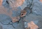 camp rat