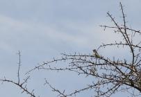 Acacia Pied Barbet/Barbican Pie