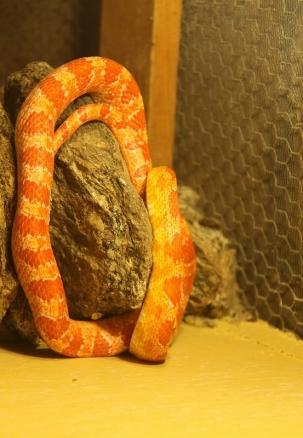 Cobra Coral - Snake Park