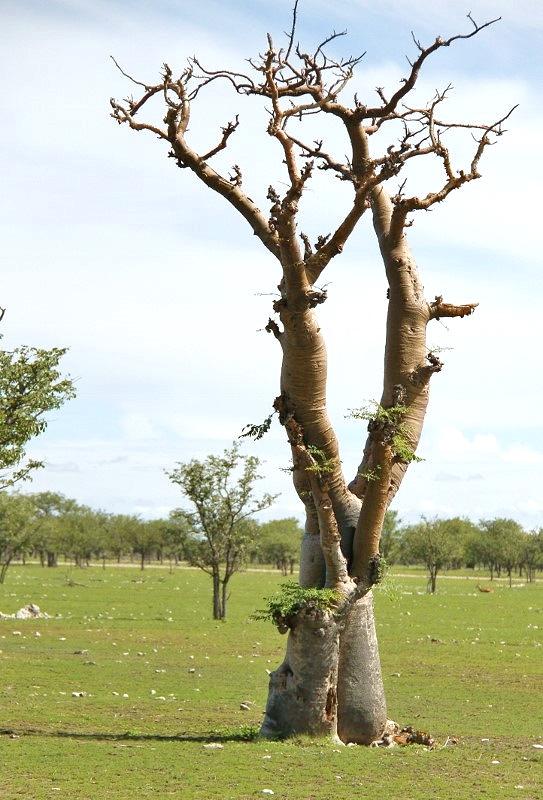 paysage -Baobab