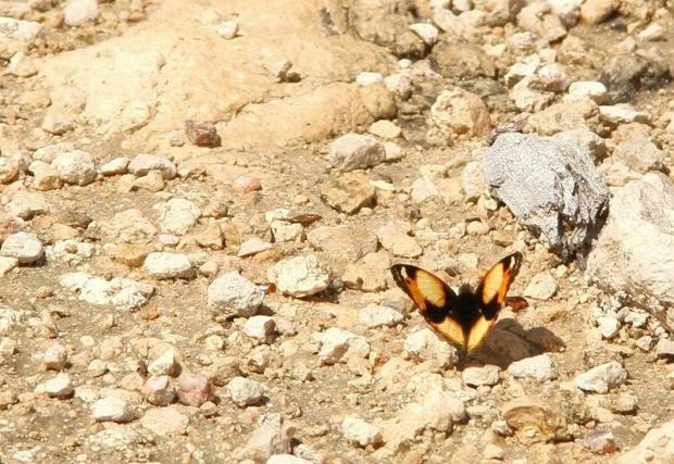 papillon -Yellow Pansy - Junonia hierta