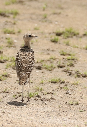 Double-banded Courser/Courevite à double collier