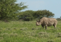 White Rhino/Rhino blanc