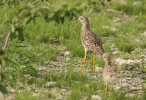 Spotted Thick-Knee (Dikkop)/Odicnème tachard