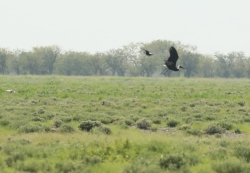 Wooly-necked Stork/Cigogne épiscopale