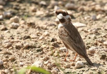 Grey-backed Sparrowlark/Moinelette à dos gris