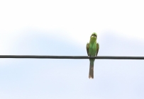 Swallow-tailed Bee-Eater/Guêpier à queue d'aronde
