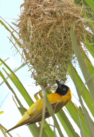 Lesser Masked-Weaver/Tisserin intermédiaire