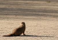 Dawrf Mongoose/Mangouste naine