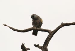 Rüppell's Parrot/Perroquet de Rüppell