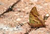 Charaxes candiope/Green-veined Charaxes
