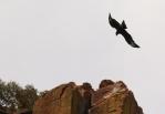 Verreaux's Eagle/Aigle de Verreaux