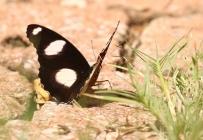 Common Diadem/Hypolimnas misippus/Nymphe du pourpier