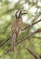 African grey Hornbill/Calao à bec noir