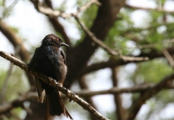Fork-tailed Drongo/Drongo brillant
