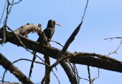 Violet Wood-Hoopoe/Irrisor damara