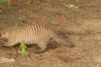 Banded Mongoose/Mangouste rayée