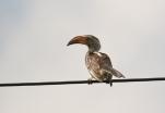 Southern-yellow-billed Hornbill/Calao leucomèle