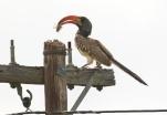 Monteiro's Hornbill/Calao de Monteiro