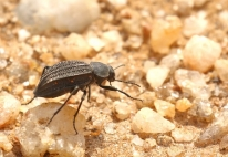 Racing darkling Beetle/Tenebrionidae