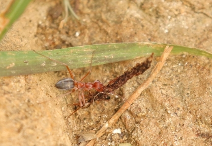 Ant/Fourmi