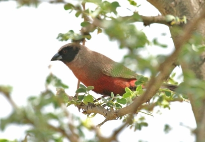 Black-faced Waxbill/Astrid à moustaches