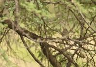 Spotted Flycatcher/Gobemouche gris