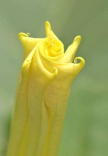 fleur - Datura