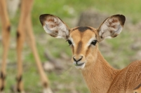 Black-faced Impala/Impala à face noire