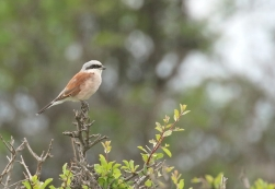 Red-backed Shrike/Pie-grièche écorcheur