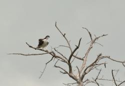 African Hawk-Eagle/Aigle fascié