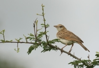 Fawn-coloured Lark/Alouette fauve