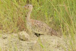 Red-crested Korhaan/Outarde houpette
