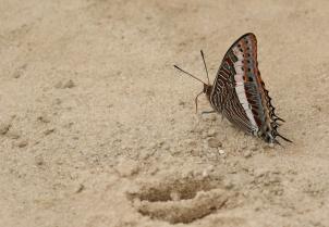 Characxes Jasius - papillon