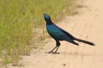 Burchell's Starling/Choucador de Burchell