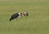 Marabou Stork/Marabout d'Afrique