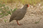 Red-billed Francolin/Francolin à bec rouge