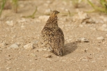 Burchell's Sandgrouse/Ganga de Burchell