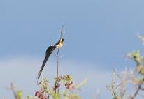 Long-tailed (Eastern)Paradise-Whydah/Veuve de paradis