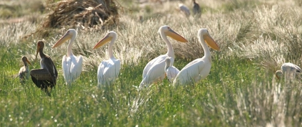 Great (Eastern) White Pelican/Pélican blanc