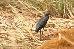 Black Heron/Aigrette ardoisée