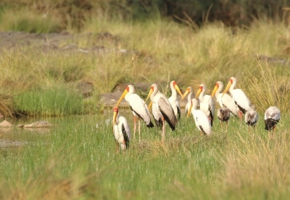 Yellow-billed Stork/Tantale Ibis