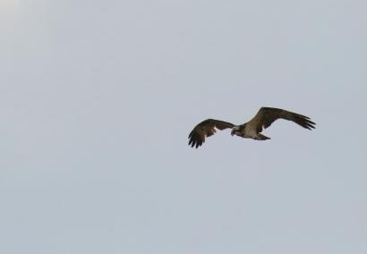 Osprey/Balbuzard pêcheur
