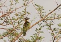 Diederick Cuckoo/Coucou didric