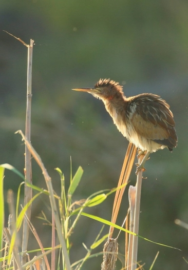 Little Bittern/Blongios nain